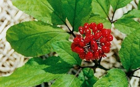 Женьшень – это растение, достигающее 60-80