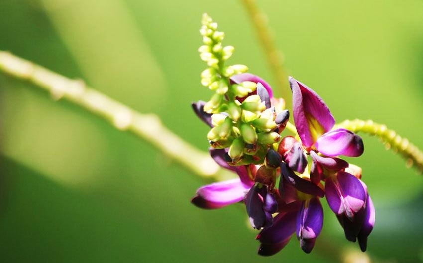 Экстракт тропического растения Пуэрария Мирифика