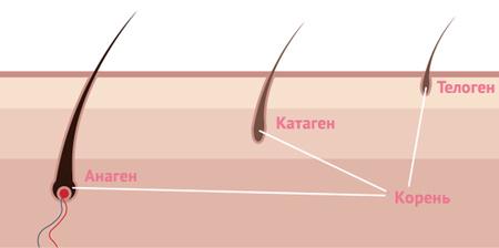 Жизненный цикл волос и норма выпадения